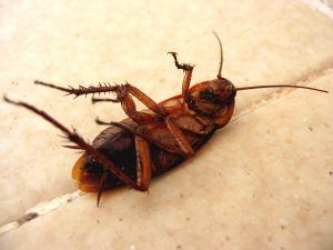 baratas morrem viradas de costas